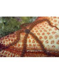 Ophiocoma sp. (Brittlestar)