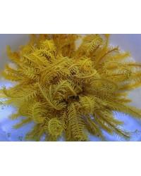 Comatula / Comanthus (amarillo brillante)