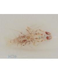 Phyllognathia Ceratophthalmus