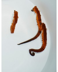 Hippocampus kuda (naranja)