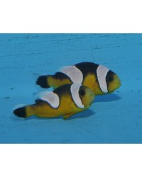 Amphiprion polymnus (gold)