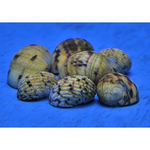 Nerita Tesselata (Pack de 5 unidades)