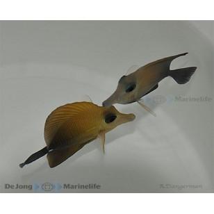 Zebrasoma Scopas