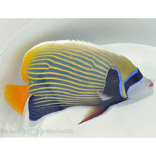 Pomacanthus Imperator (Adulto)