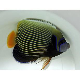 Pomacanthus Imperator Red Sea Orange Tail
