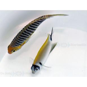 Genicanthus Semifasciatus (Pareja)