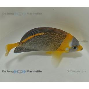 Chaetodontoplus duboulayi (hembra)