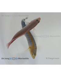Pseudochromis Cyanotaenia (Pareja)