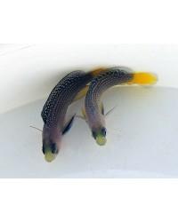 Manonichthys Splendens