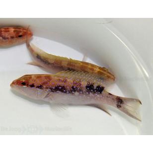 Variola Albimarginata