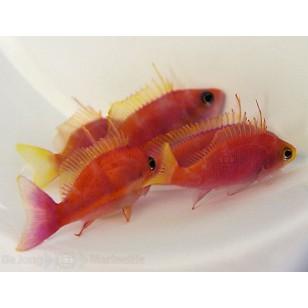 Pseudanthias Pulcherrimus (Hembra)