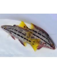 Bodianus Diplotaenia (Ecuador)