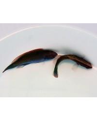 Cirrhilabrus Cyanopleura