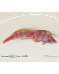 Cirrhilabrus Flavidorsalis