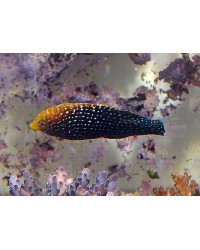 Macropharyngodon Cyanoguttatus (Mauritius)
