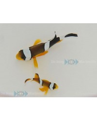 Amphiprion Chrysogaster (Mauritius)