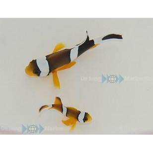 Amphiprion Chrysogaster (Pareja)