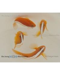 Amphiprion Sandaracinos (Pareja)