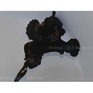 Antennarius Sp (Negro)
