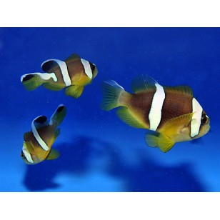 Amphiprion Bicinctus (Pearl Eye)