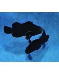 Amphiprion Ocellaris Midnight (Pareja)