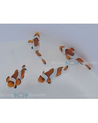 Amphiprion Ocellaris Vicid Fancy