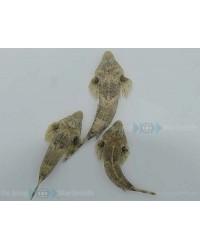 Callionymus Bairdi